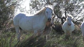 Άλογο Camargue, κοπάδι που στέκεται στην ψηλή χλόη, Saintes Marie de Λα Mer στο νότο της Γαλλίας, απόθεμα βίντεο