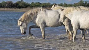 Άλογο Camargue, κοπάδι που στέκεται στο έλος, Saintes Marie de Λα Mer στο νότο της Γαλλίας, φιλμ μικρού μήκους