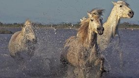 Άλογο Camargue, ομάδα που καλπάζει μέσω του έλους, Saintes Marie de Λα Mer σε Camargue, στο νότο της Γαλλίας, απόθεμα βίντεο