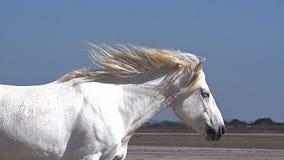 Άλογο Camargue που καλπάζει στην παραλία, Saintes Marie de Λα Mer σε Camargue, στο νότο της Γαλλίας, απόθεμα βίντεο