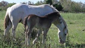 Άλογο Camargue, φοράδα και Foal, Saintes Marie de Λα Mer στο νότο της Γαλλίας, απόθεμα βίντεο