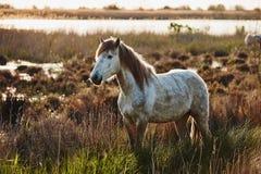 Άλογο Camargue Στοκ φωτογραφία με δικαίωμα ελεύθερης χρήσης