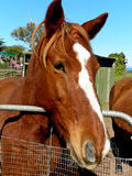 Άλογο Chesnut στοκ φωτογραφίες με δικαίωμα ελεύθερης χρήσης