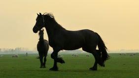 Άλογο Frisian Στοκ εικόνες με δικαίωμα ελεύθερης χρήσης
