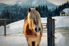 Άλογο Haflinger Στοκ εικόνες με δικαίωμα ελεύθερης χρήσης