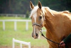 Άλογο Palomino Στοκ Εικόνες