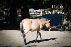 Άλογο Przewalski ` s Πήρα την παράβαση στοκ φωτογραφία με δικαίωμα ελεύθερης χρήσης