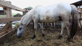 Άλογο Yakutian στη μάντρα φιλμ μικρού μήκους