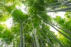 Άλσος μπαμπού, δάσος μπαμπού σε Arashiyama, Κιότο, Ιαπωνία Στοκ Φωτογραφία