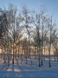 Άλσος σημύδων στο ηλιοβασίλεμα Στοκ Φωτογραφία