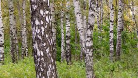 Άλσος σημύδων στο πάρκο πόλεων Στοκ Εικόνες