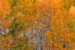 Άλσος της Aspen με τα χρώματα φθινοπώρου Στοκ εικόνες με δικαίωμα ελεύθερης χρήσης