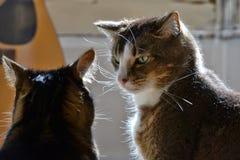 Άλφα αρσενική γάτα Στοκ Φωτογραφίες