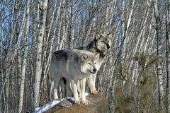 Άλφα λύκοι Στοκ Φωτογραφίες