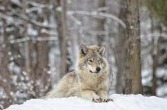 Άλφα λύκος ξυλείας Στοκ Φωτογραφία