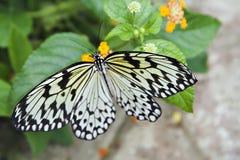 έγγραφο ικτίνων 2 πεταλούδ& Στοκ εικόνα με δικαίωμα ελεύθερης χρήσης
