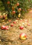 έδαφος κήπων appletree μήλων ώριμο Στοκ Εικόνες