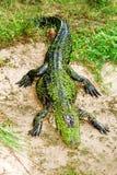 έδαφος gator στοκ εικόνα