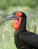 έδαφος hornbill στοκ φωτογραφία