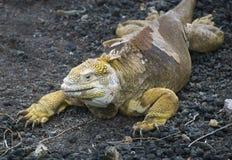 Έδαφος Iguana Στοκ Φωτογραφίες