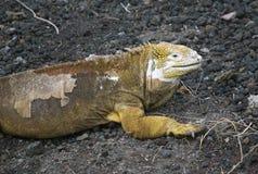 Έδαφος Iguana Στοκ εικόνες με δικαίωμα ελεύθερης χρήσης