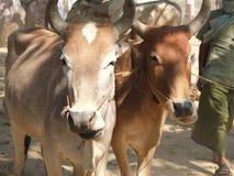 Έκθεση βοοειδών, Νεπάλ Στοκ εικόνες με δικαίωμα ελεύθερης χρήσης