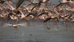 Έκθεση που πυροβολείται μακροχρόνια των φλαμίγκο που τρέπονται σε φυγή στο bogoria λιμνών φιλμ μικρού μήκους