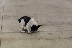 Έκθεση των καθαρής φυλής σκυλιών σε Palasettembre, Chiuduno (BG) 14-1 στοκ φωτογραφία
