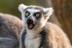 Έκπληκτο δαχτυλίδι-παρακολουθημένο κερκοπίθηκος ή catta κερκοπιθήκων με το ανοικτό στόμα και μάτια ευρέως ανοικτά στοκ φωτογραφίες