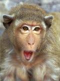 έκπληξη του ρήσου μακάκου πορτρέτου πιθήκων Στοκ Εικόνες