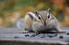Έκπληκτοι chipmunk σπόροι Στοκ Φωτογραφία