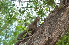 Έκπληκτος σκίουρος σε ένα δέντρο Στοκ φωτογραφία με δικαίωμα ελεύθερης χρήσης
