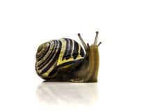 Έκπληκτο σαλιγκάρι Στοκ Εικόνες