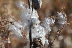 Έκρηξη εγκαταστάσεων Milkweed (syriaca Asclepias) Στοκ φωτογραφία με δικαίωμα ελεύθερης χρήσης