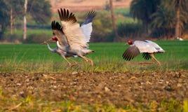 Έκταση φτερών γερανών Sarus Στοκ Φωτογραφία