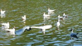 Έκταση seagull κατά την πτήση απόθεμα βίντεο