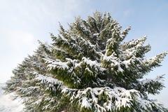 έλατα χιονώδη Στοκ Εικόνα