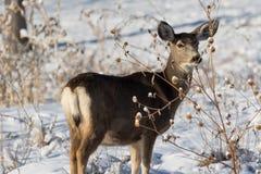 Έλαφος ελαφιών μουλαριών στο χειμερινό χιόνι Στοκ φωτογραφίες με δικαίωμα ελεύθερης χρήσης