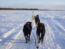 έλκηθρο σκυλιών της Αλάσ&k Στοκ Εικόνες