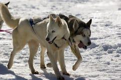 έλκηθρο σκυλιών στοκ εικόνες