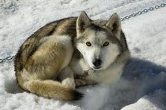 έλκηθρο σκυλιών Στοκ Εικόνα