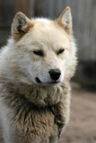 έλκηθρο φρουράς σκυλιών ilulissat Στοκ φωτογραφία με δικαίωμα ελεύθερης χρήσης