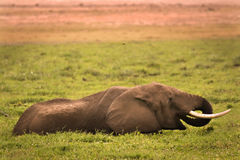 έλος ελεφάντων Στοκ Εικόνες
