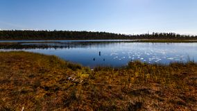 Έλος κοντά στο δάσος πεύκων το μεσημέρι, Καρελία, Ρωσία στοκ εικόνα