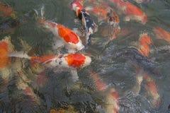 Έλος των κόκκινων ψαριών koi στοκ εικόνες