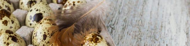 Έμβλημα των αυγών ορτυκιών στο ράφι χαρτονιού στο υπόβαθρο με το φτερό Στοκ Εικόνες