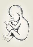 έμβρυο Στοκ φωτογραφίες με δικαίωμα ελεύθερης χρήσης