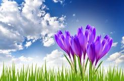 Έμβλημα άνοιξη με τα λουλούδια κρόκων Στοκ Εικόνες