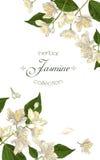 Έμβλημα λουλουδιών της Jasmine Στοκ Εικόνα