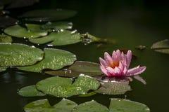Έναν οφθαλμό του ρόδινου κρίνου Marliacea Rosea νερού με την πτώση νερού ανοίγουν σε μια λίμνη Ένα ridibunda Rana βατράχων κάθετα στοκ φωτογραφία με δικαίωμα ελεύθερης χρήσης